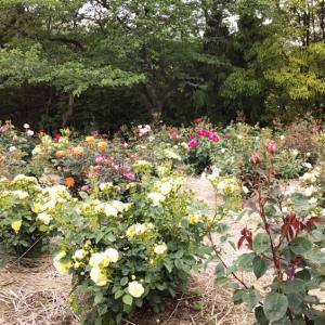 種松山のバラを堪能です。