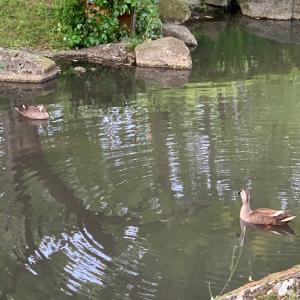 池にカモン