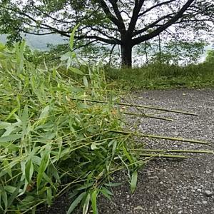 5本の笹竹