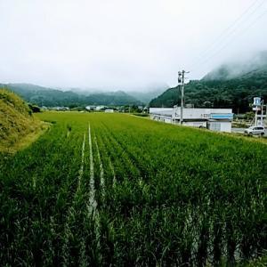 成長中の稲におはー!