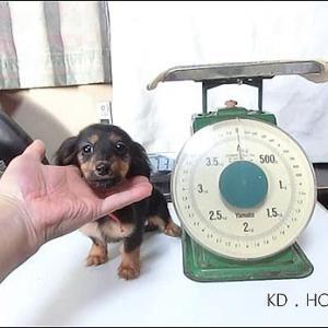カニンヘンダックス動画:モアナの娘ナナちゃん生後80日体重測定