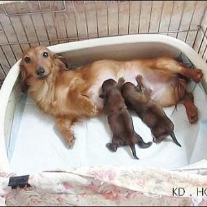 カニンヘンダックス動画:ココちゃん無事に出産しました