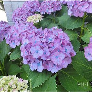庭の紫陽花たち