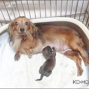 カニンヘンダックス動画:ミモザちゃん出産しました