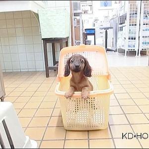 カニンヘンダックス動画:ミモザちゃん生後60日ワクチン接種