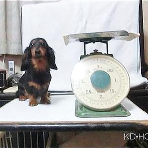 カニンヘンダックス動画:ハナちゃん1歳の体重測定