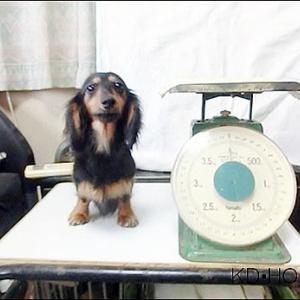 カニンヘンダックス動画:ナナちゃん1歳の体重測定