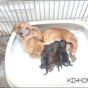カニンヘンダックス動画:ココロちゃん出産しました