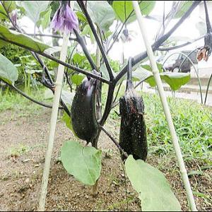 家庭菜園 茄子にきゅうり・獅子唐にトマト