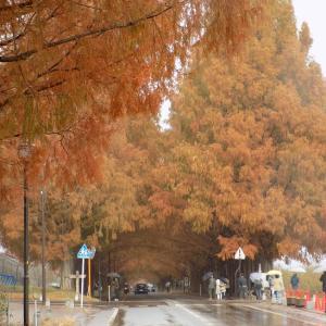 滋賀にメタセコイアを見にいってきました。あいにくの雨、残念!