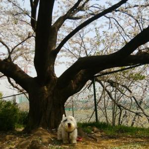 桜舞い散る丘の上で
