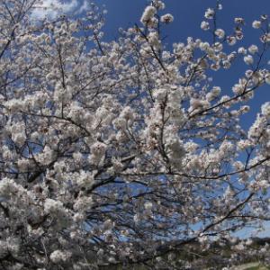 満開の桜と今日のカワセミ