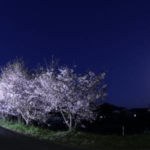 夜桜とヤマセミ(交尾)