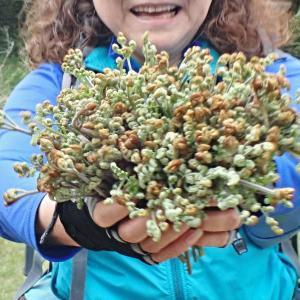 リハビリ山歩で蕨と蓬のブーケを作る