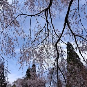 27日.五ヶ瀬町浄専寺の枝垂れ桜を見て帰る