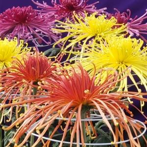 南陽の菊まつり