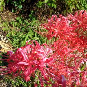 彼岸花に夢中のアゲハチョウ