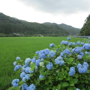 20200702(木) 三和町渡戸の紫陽花