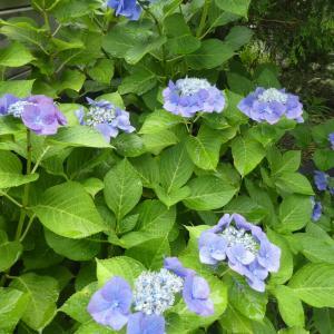 20200707(火) 庭の紫陽花