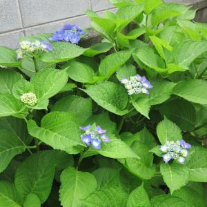 20210613(日) 庭の紫陽花が咲き初める
