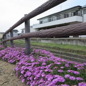 20210613(日) 松葉菊が咲き競う隣家裏