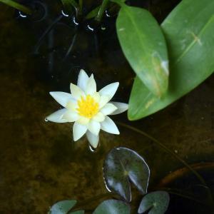 東京・目黒区・南。小さなベランダの睡蓮鉢