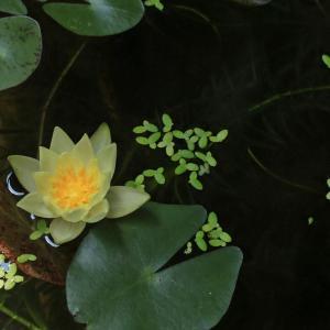 7月28日 東京・目黒区・南。小さなベランダの睡蓮鉢