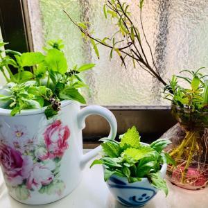 キッチンガーデニング。料理用に買ってきたバジルを水栽培してたら、根が出て花も咲いてきましたww ローズマリー、レモンバーム、山椒も水栽培。