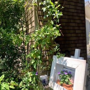 うちの花の撮影。モッコウバラの間からクレマチス・ロウグチが出て咲いてます。下はアゲラタム。夫が燐家へはみ出したモッコウバラを剪定してくれてました。