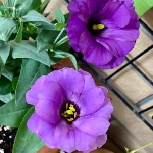 卓球の練習に行き、帰ってからお風呂を沸かしてる間に、うちの花の撮影。