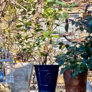 亡き義母宅から持ち帰った低木は、調べたら沈丁花でした。真ん中の青い陶器の鉢に植え替えました。