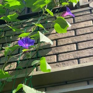 うちの花。宿根(琉球)朝顔が咲きました。クレマチス・マルチブルー、秋明菊、秋海棠、犬蓼