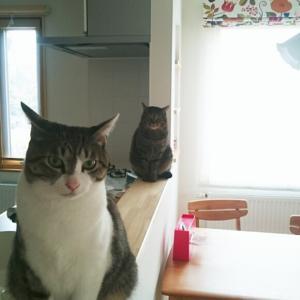 カウンターを陣取る猫