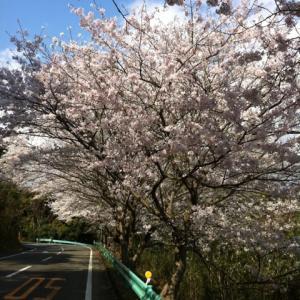 桜満開です(^ ^)