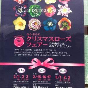 クリスマスローズ第二弾♪♪