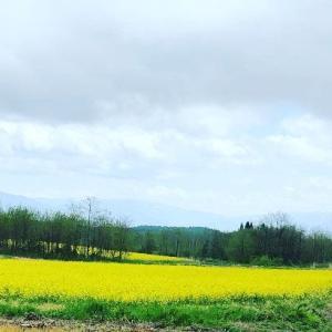 農場がある秋田県小坂町は菜の花畑がキレイな季節です!