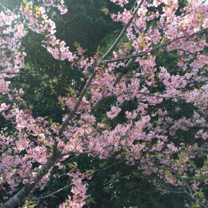 御前崎の河津桜