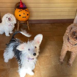 ハロウィンとプルメリア と犬と猫