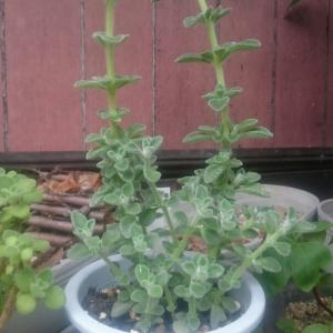 キュバンオレガノの伸びた2本を挿し芽しました。