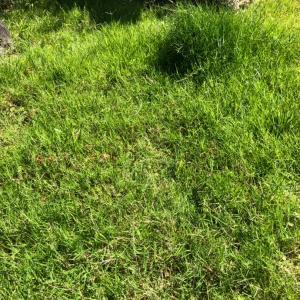 今年は芝の育ちが悪いなー。