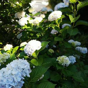 ★地植えをして42年目の紫陽花