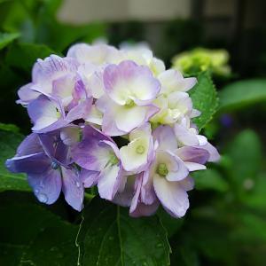 ★紫陽花INマイガーデン