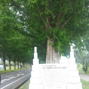 ★滋賀のメタセコイヤ並木が雪化粧