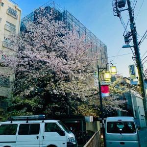 路地裏の桜。