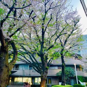 本日の桜。