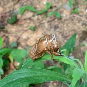 蝉の抜け殻。
