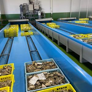 悩ましい牡蠣の水揚げ