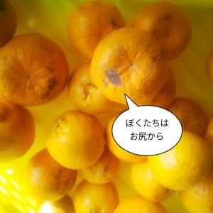 柑橘の傷み方の違い