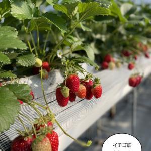 和歌山のイチゴ!まりひめ!