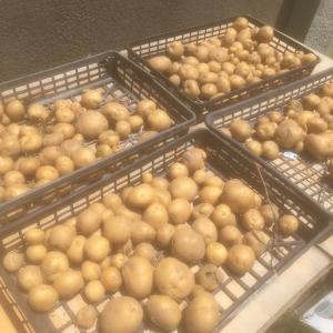 生活介護の利用者さんが、無農薬じゃがいもを収穫しました!